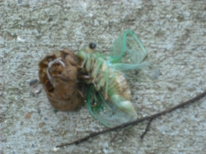 Cicada and chrysallis